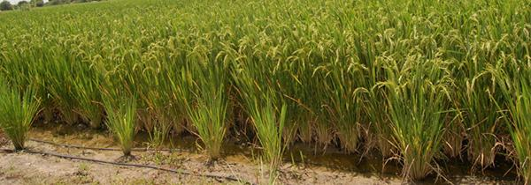 Innovations For Sustainable Rice Farming Jain Irrigation Systems Joins Irri Consortium Advancing Direct Seeded Rice Systems International Rice Research Institute