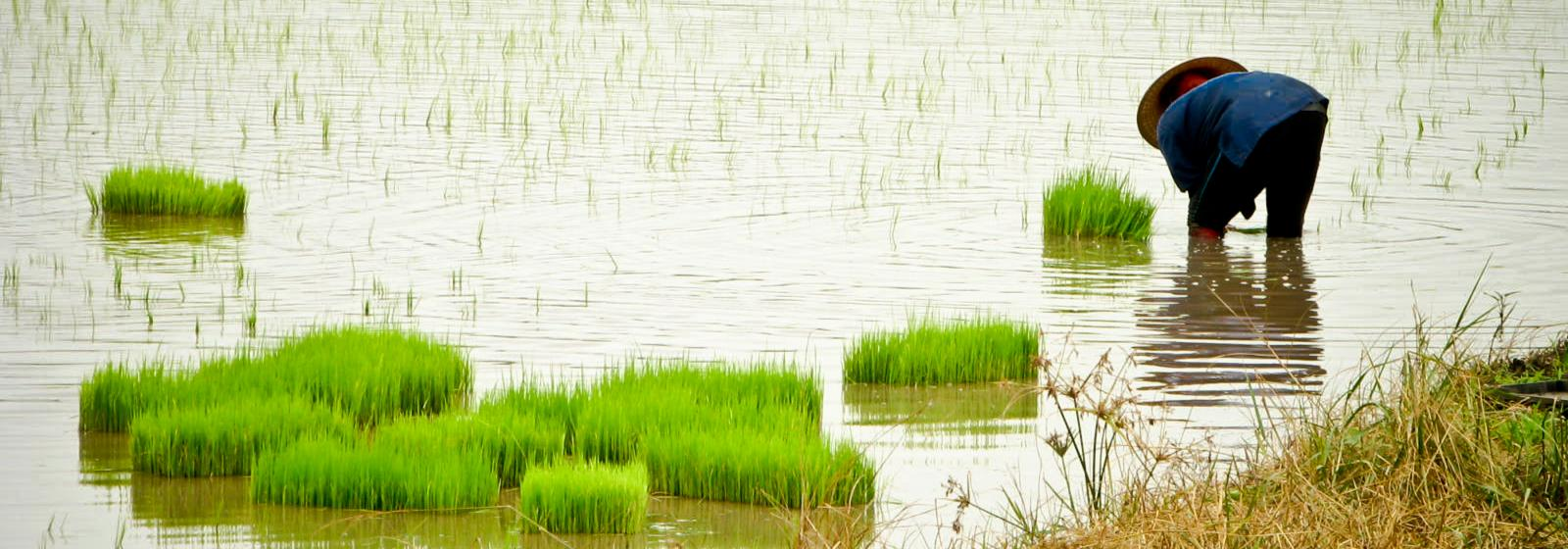 Climate change - ready rice | International Rice Research